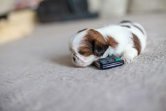 Little white shih-tzu pup at remote Stock Photo