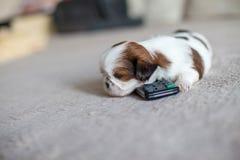 Little white shih-tzu pup at remote Stock Photo