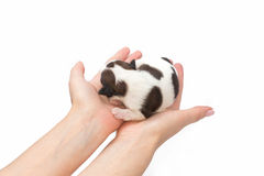 Little white shih tzu puppy sleeping at the human hands Royalty Free Stock Photo
