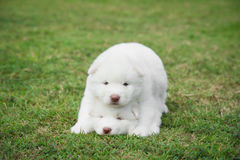 Little white siberian husky puppy lying on green grass Stock Photography