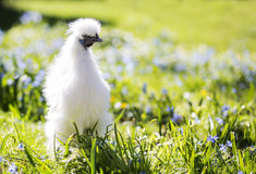 Little white silkie hen staring. White chicken in the sunny garden Stock Images