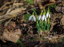 The little white snowdrops growing in early spring Royalty Free Stock Image