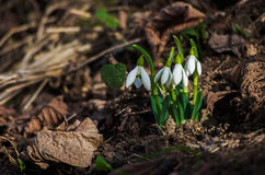 The little white snowdrops growing in early spring Stock Images