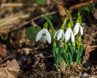 The little white snowdrops growing in early spring Royalty Free Stock Photography