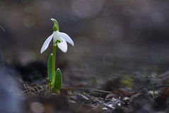 The little white snowdrops growing in early spring Stock Photo