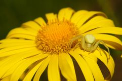 Little white spider on yellow flower. Close up Stock Image