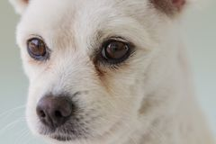 Little white spitz dog with sad eyes and big ears. Short haired little dog portrait, lonely dog Royalty Free Stock Photo