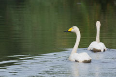 Little white swan Royalty Free Stock Photos