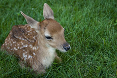A Little White-tailed Deer. Just a little white-tailed deer sitting in the grass royalty free stock photography