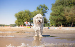 Little white wet dog on beach Royalty Free Stock Photography
