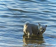 Small dog on a leash is in the lake royalty free stock images