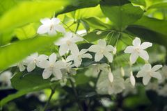 Little White Wrightia religiosa flower in nature garden. Closeup of group of White tropical asian flower Wrightia Religiosa Benth Royalty Free Stock Images