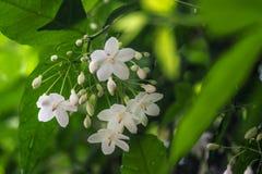 Little White Wrightia religiosa flower in nature garden. Closeup of group of White tropical asian flower Wrightia Religiosa Benth Stock Image
