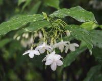Little White Wrightia religiosa flower in nature garden. Closeup of group of White tropical asian flower Wrightia Religiosa Benth Stock Images
