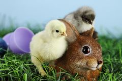 Easter Chicks and Bunnie. Little white and yellow Easter chick standing by and adorable resin brown bunny rabbit with a grey chick sleeping on the bunnys back Stock Image