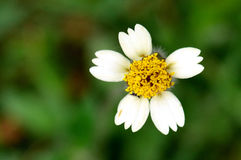 Little White and Yellow Flower. On a green background Stock Image