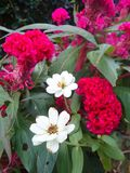 Little white Zinnia and red Cockscomb flowers Royalty Free Stock Images