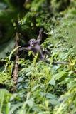 Little wild animals,Leaf monkey or Dusky langur swing on the tree stock image