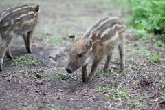 Little wild boar piglets Stock Images