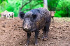Free Little Wild Boars Stock Photography - 203638092