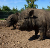 Little wild boars in zoo Royalty Free Stock Image