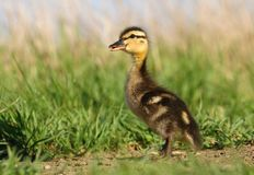 Little wild duck Royalty Free Stock Image