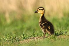 Little wild duckling Stock Images