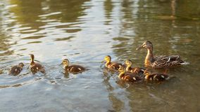Little wild ducklings swimming on pond with mother duck in backg. Round, during evening sunset light Stock Photography