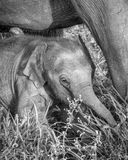 Little wild elephant calf stock photos