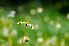 Little wild flower with bokeh background. Little wild flower with bokeh green background Royalty Free Stock Photos
