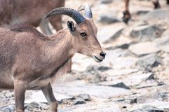 Little wild goat among her family, looking straight on a rocky ground stock photo