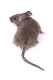 Little wild mouse. On white background Royalty Free Stock Image