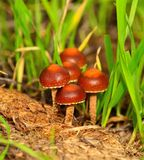 Little wild mushrooms born among grasses Royalty Free Stock Photography