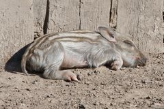 Little wild pig Royalty Free Stock Images