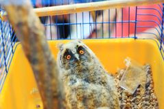 Pygmy Owl, Little owl, Glaucidium passerinum in a cage. stock images