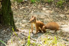A little wild squirrel on the ground stock images