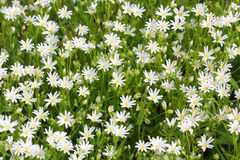 Little wild white flowers blooming in spring Stock Photos