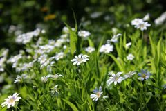 Little wild white forest spring flowers in the sunshine Royalty Free Stock Photo