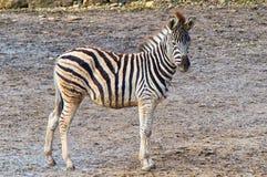 The little wild Zebra Royalty Free Stock Photos