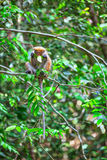 Little wilde green monkeys or guenons characterize the landscape of the rainforests. And the exotic nature on the tropical island Sri Lanka in the Indian Ocean royalty free stock photography