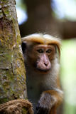 Little wilde green monkeys or guenons characterize the landscape of the rainforests. And the exotic nature on the tropical island Sri Lanka in the Indian Ocean stock photo