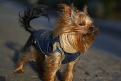 Little wind. Funny dog wind Royalty Free Stock Photos