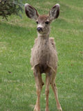 A Little Wobbly. Yearling mule deer getting its footing on a cold windy day royalty free stock image