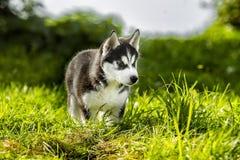 Little wolf hunts prey Stock Photo