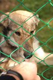 Little wolf licks the hand of man. It`s nice to meet you. Little wolf on the farm. Very glad to all guests of the farm. But from the cell it was never released Stock Photo
