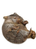 Little Wombat Australia Royalty Free Stock Images