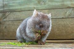 Little Wombat eating. Little wombat, Vombatus ursinus,3 months old female while eating blades of grass inside Bonorong Wildlife Sanctuary, Hobart, Tasmania Royalty Free Stock Photo