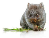 Little Wombat. Female 3 months. Isolated on white background. Family of Wombat, mammal, marsupial herbivore that lives in Australia in forested, mountainous Stock Images