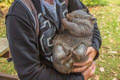 Little Wombat sleeping Royalty Free Stock Photography