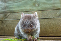 Little Wombat Tasmania. Little wombat, Vombatus ursinus,3 months old female while eating blades of grass inside Bonorong Wildlife Sanctuary, Hobart, Tasmania Stock Photo
